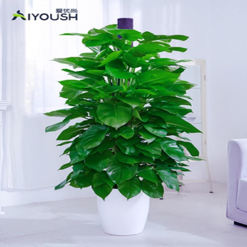 爱优尚大绿萝盆栽大叶绿箩长藤客厅室内除甲醛大型花盆植物绿萝柱